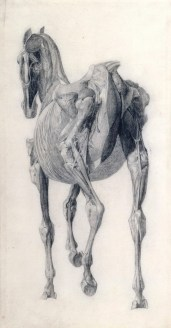 Finished study for 'The Fourteenth Anatomical Table of the Muscles ... of the Horse', 1756-58, Stubbs